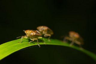 Brown Stink Bug Season
